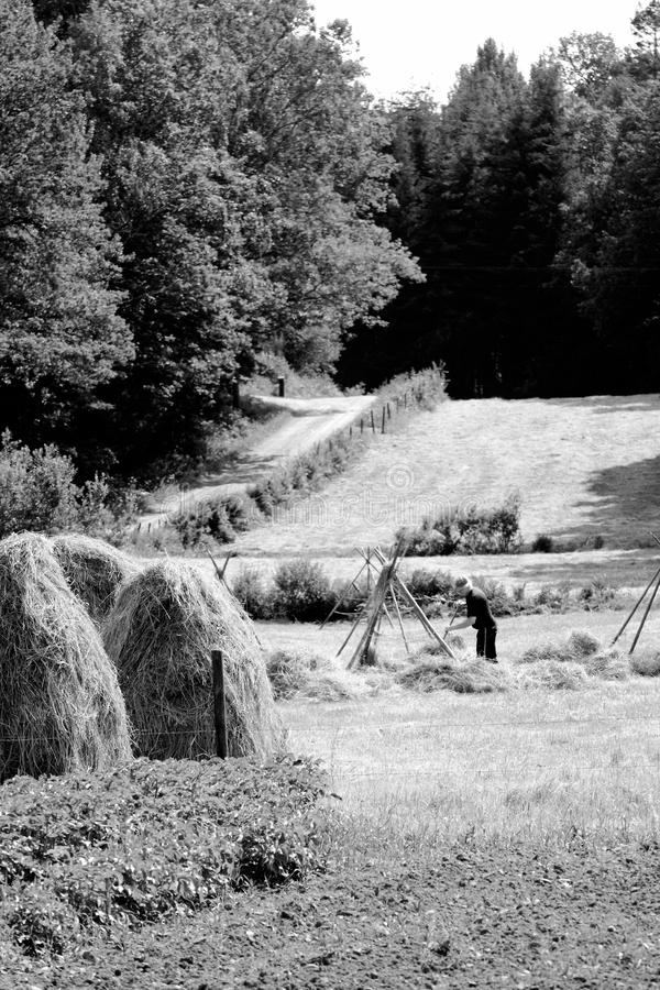 Download Farmer Puts Up Hay On Long Drying Racks. Editorial Photo - Image: 32242366