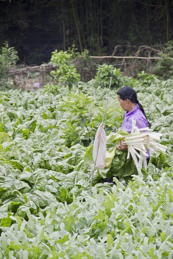 A farmer reaps kale from the season plantation