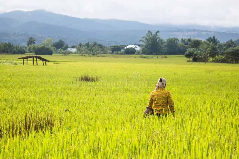 Farmer in rice field stock photography