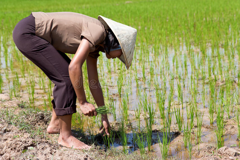 Download Farmer on the rice field stock photo. Image of environment - 40630830