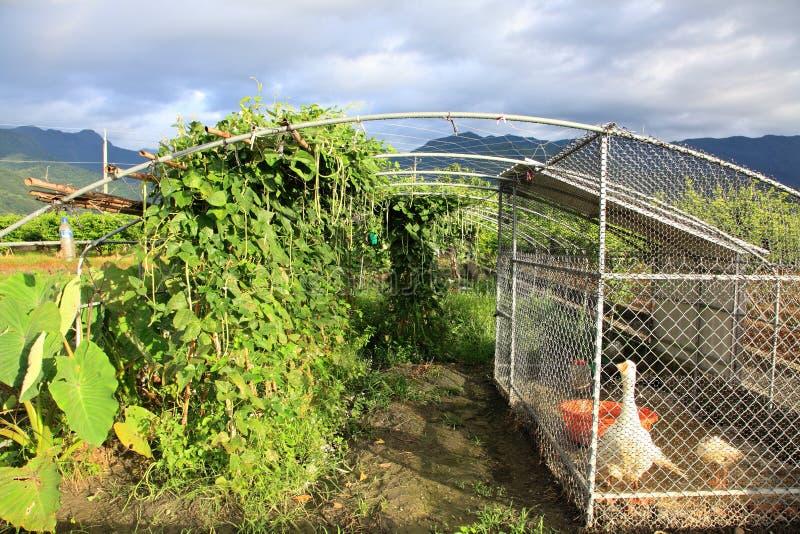 Farmer rises goshts in garden stock image