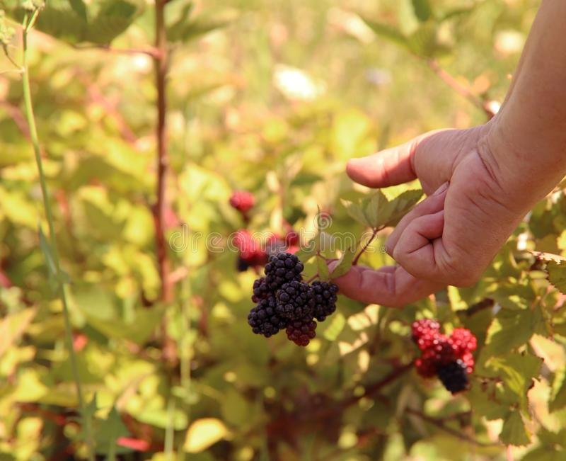 Farmer`s hand picks a blackberry. Black and red berries of a blackberry on a branch. stock photography