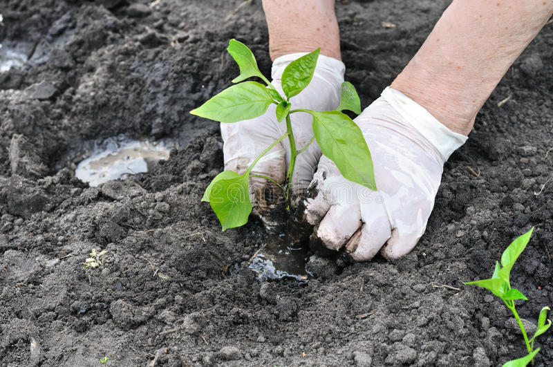 Download Farmer`s Hands Planting A Pepper Seedling Stock Photo - Image: 83714586