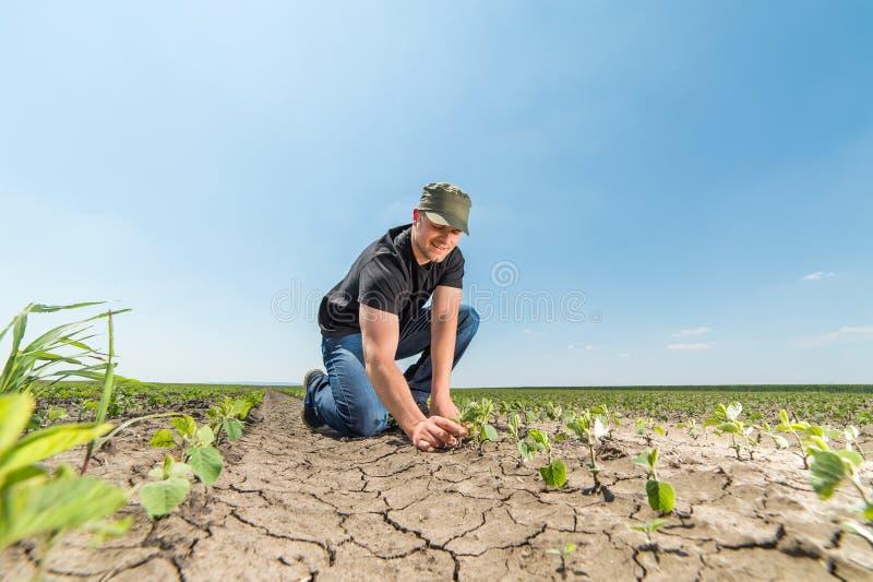 Farmer in soybean fields. Young farmer in soybean fields royalty free stock photo