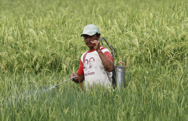 Farmer. Spraying insecticide to eradicate the pest in rice fields in Boyolali, Central Java, Indonesia stock photography