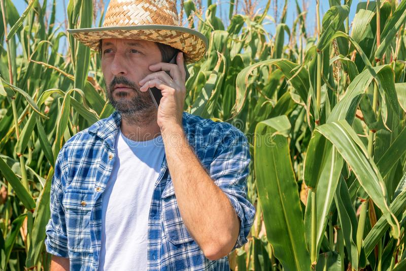 Farmer talking on mobile phone in corn maize field royalty free stock photography
