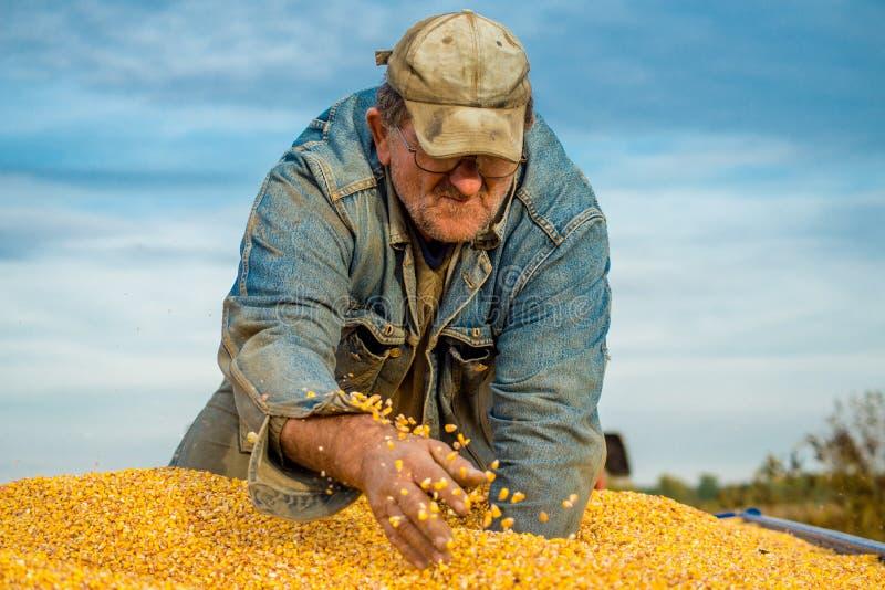 A farmer in a tractor trailer full of corn stock photos