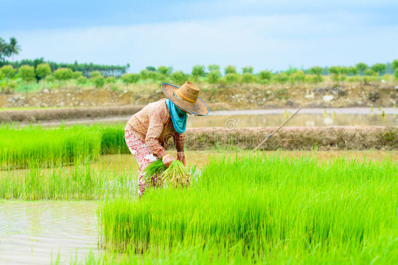 Farmer transplant royalty free stock images