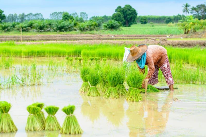 Farmer transplant royalty free stock image