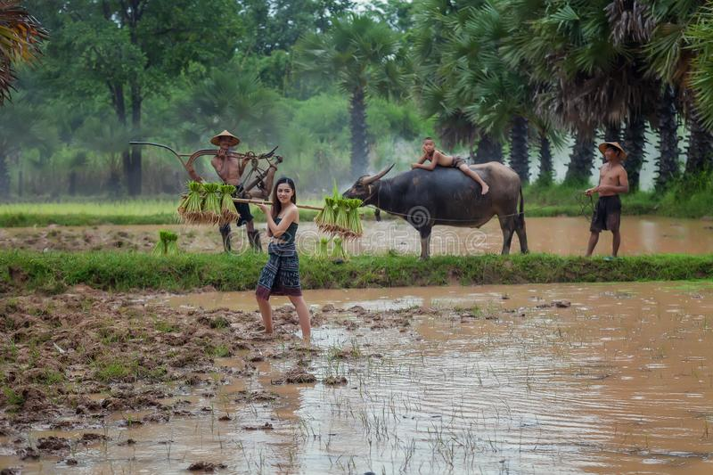 Farmer using buffalo To plowing rice field in the coming rainy s. Eason,Father using the buffalo to plow for rice plant in rainy season,Vietnam royalty free stock photography