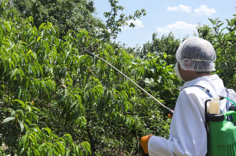 Farmer using pesticide sprayer for protecting the peach harvest. Farmer wearing white protective workwear and spraying pesticides on the peach trees in the royalty free stock photography