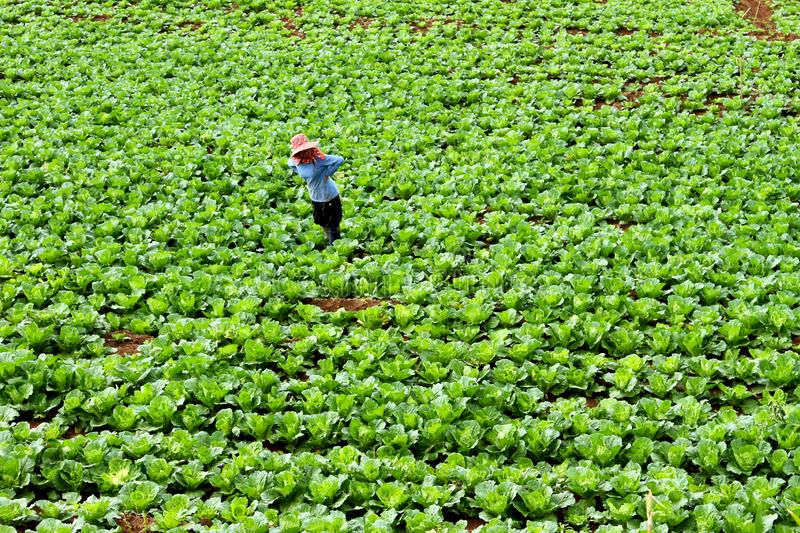Farmer and vegetable plot. Farmer are eradicate weeding and insect in vegetable plots royalty free stock image