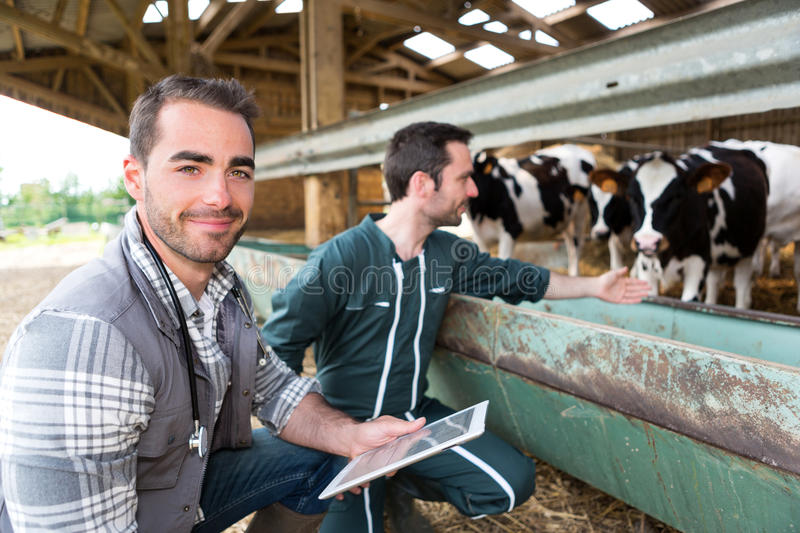 Farmer and veterinary working together in a barn stock photos
