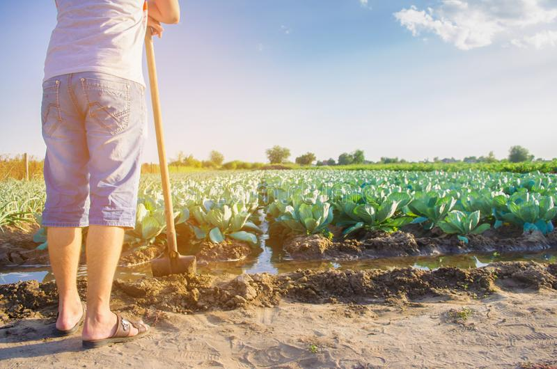 The farmer is watering the field. natural irrigation. cabbage plantations grow in the field. vegetable rows. farming agriculture.  royalty free stock photo
