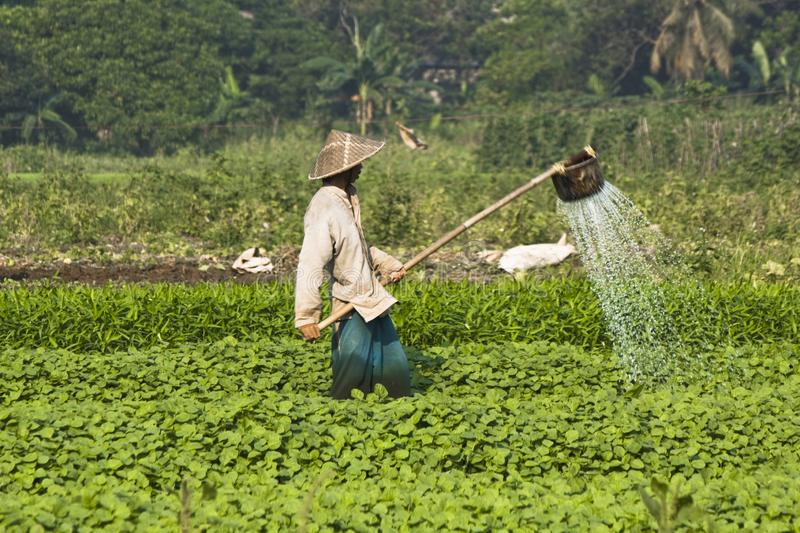 A Farmer is Watering Plants. Unknown traditional farmer is watering in the middle of vegetable field stock photography