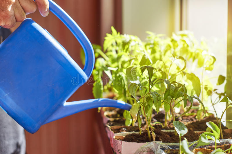 Farmer watering vegetable seedlings stock photos