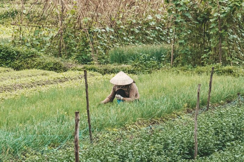 Farmer wearing traditional Vietnamese hat on field in Vietnam. Worker doing agriculture work in plant. Life of a man or woman on. Plantation. Picking green royalty free stock photo