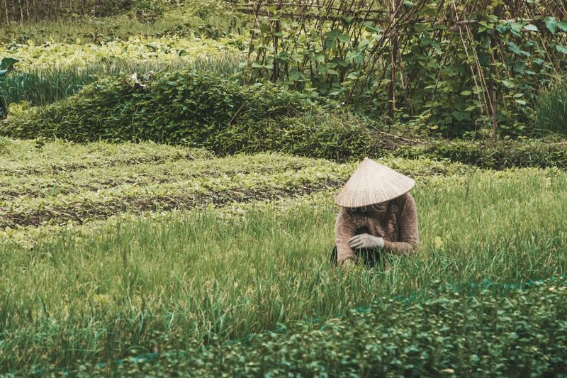 Farmer wearing traditional Vietnamese hat on field in Vietnam. Worker doing agriculture work in plant. Life of a man or woman on. Plantation. Picking green royalty free stock photos