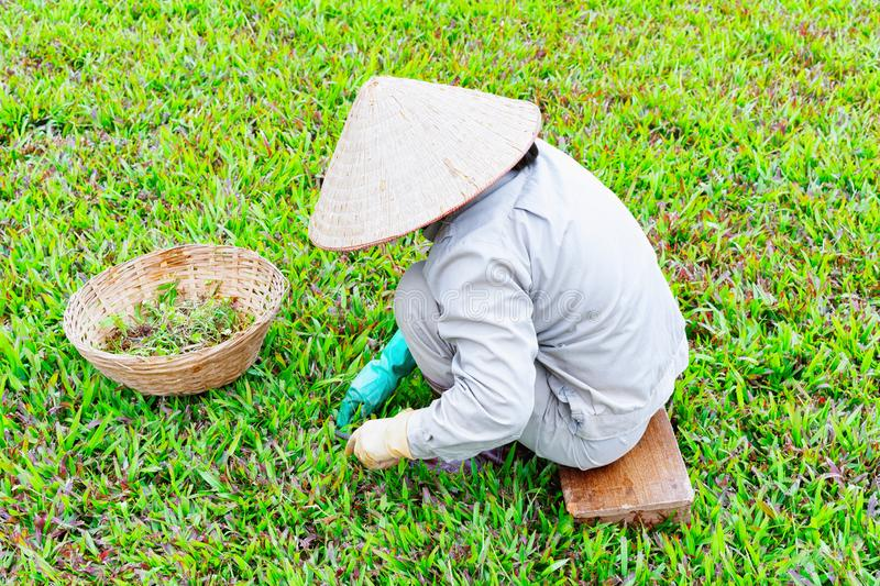 Farmer wearing traditional Vietnamese hat on rice field stock images