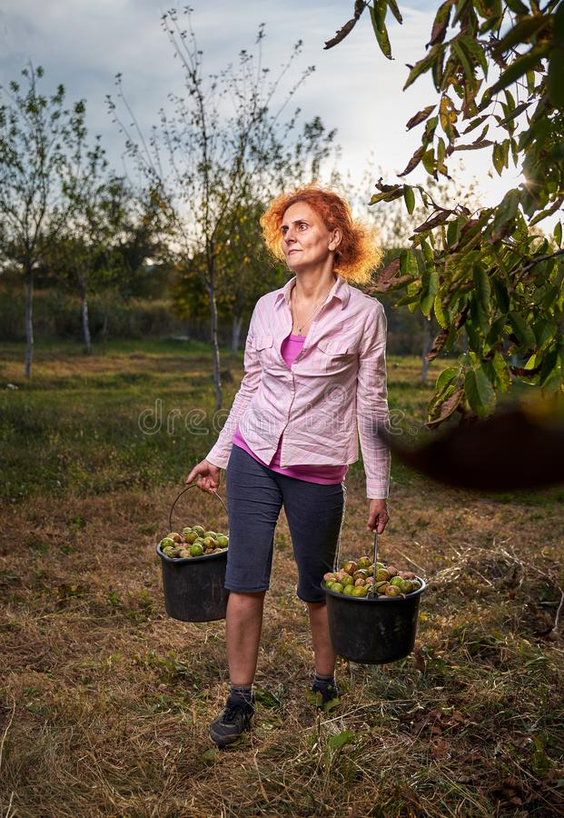 Woman harvesting walnuts stock photography