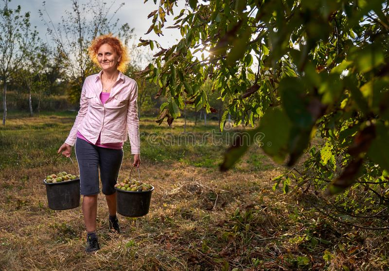 Woman harvesting walnuts royalty free stock image