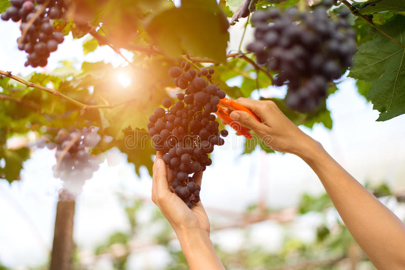 Farmer woman picking grape stock image