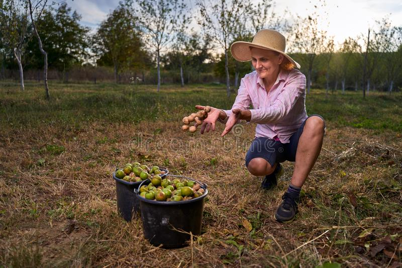 Farmer harvesting walnuts in the orchard royalty free stock images