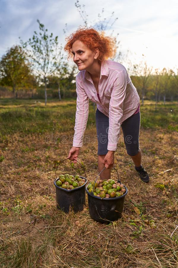 Farmer harvesting walnuts in the orchard stock images