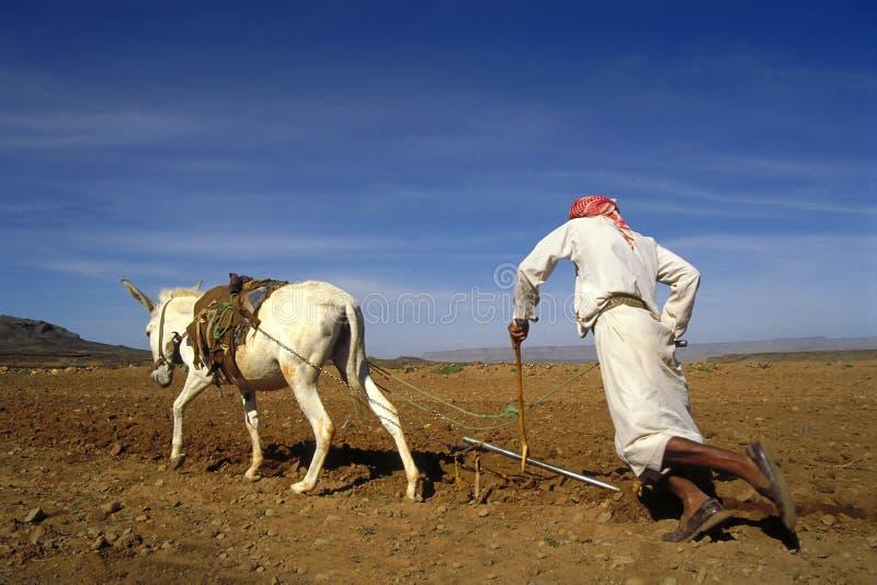 Farmer at work in Yemen. Farmer plowing with white donkey in Yemen stock photography