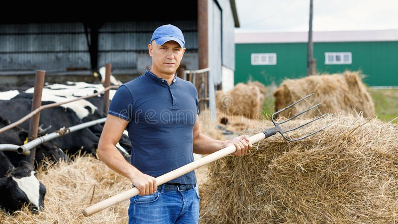 Farmer working on farm with dairy cows stock images