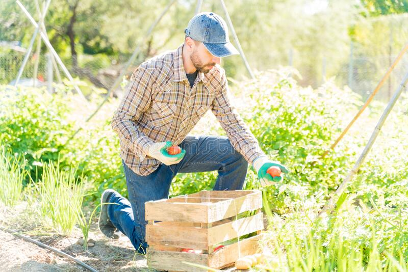 Farmer Working In Farm During Summer stock image
