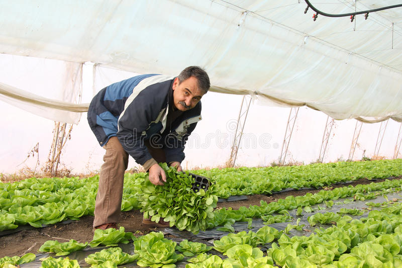 Farmer working in a greenhouse royalty free stock photos