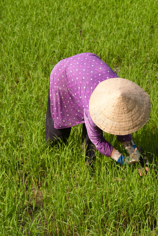 Download Farmer Working In A Paddy Field Stock Images - Image: 15758974