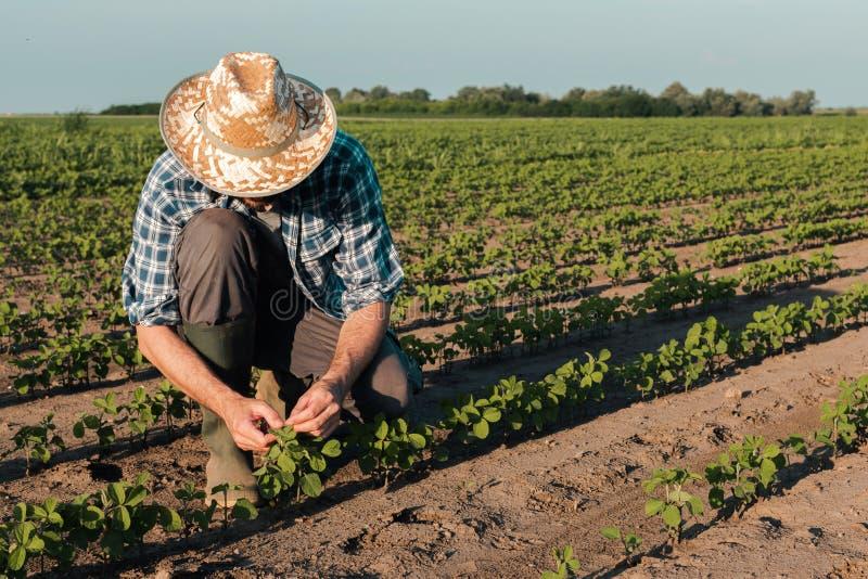 Farmer working on soybean plantation, examining crops development stock image