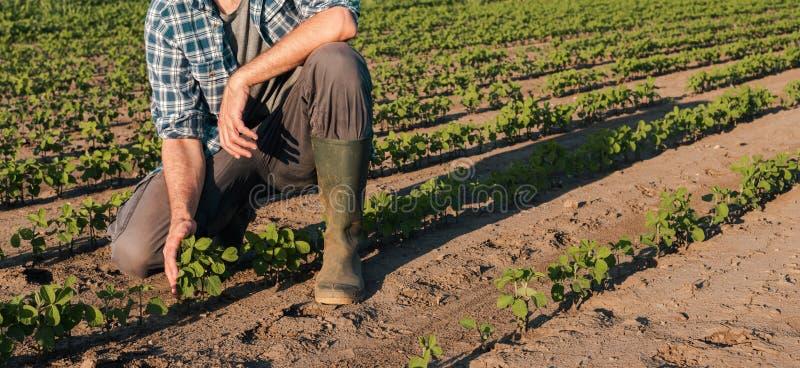 Farmer working on soybean plantation, examining crops development stock photos