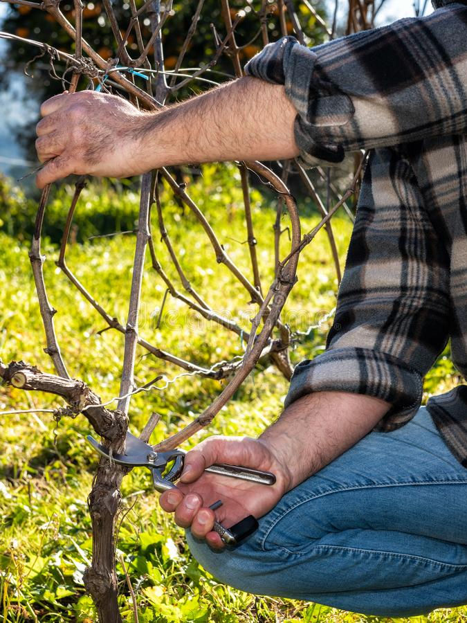 Farmer works at pruning in a vineyard. Close up of the hands of a Caucasian winegrower at work, engaged in pruning the vine with professional scissors royalty free stock photos