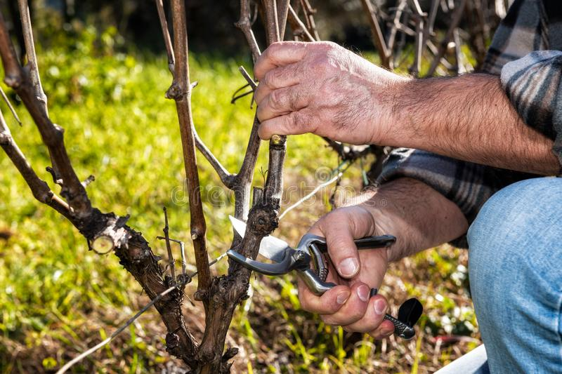 Farmer works at pruning in a vineyard. Close up of the hands of a Caucasian winegrower at work, engaged in pruning the vine with professional scissors royalty free stock images