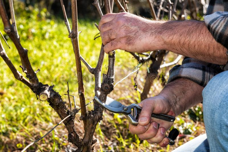 Farmer works at pruning in a vineyard. Close up of the hands of a Caucasian winegrower at work, engaged in pruning the vine with professional scissors stock photo