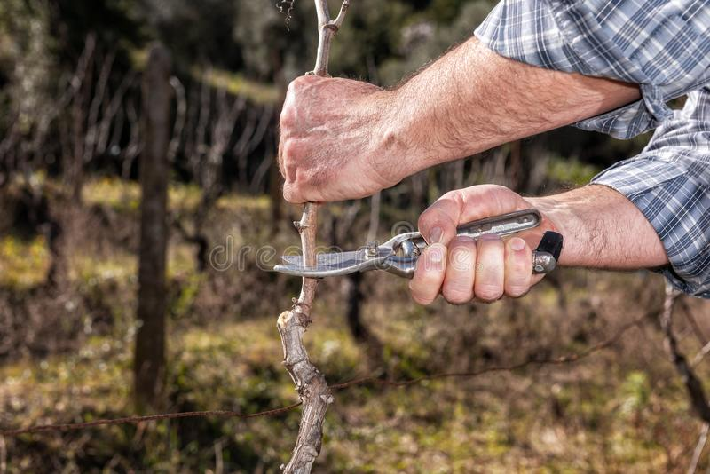 Farmer works at pruning in a vineyard. Close up of the hands of a Caucasian winegrower at work in an old vineyard, performs the pruning of the vine with stock photography