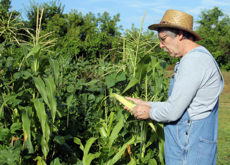 Farmers corn crop. Farmer in a straw hat checking his corn crop royalty free stock image
