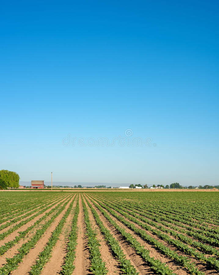 Farmers crops all in a row lead to a red barn stock photos