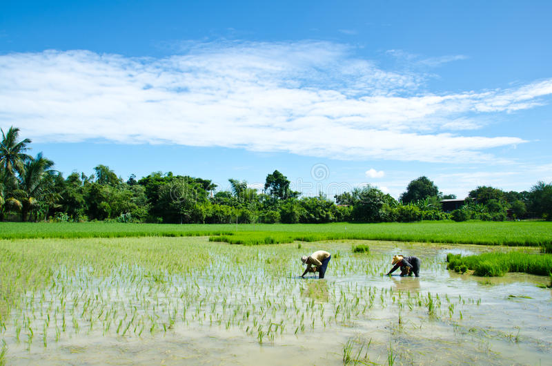 Farmers are farming. Farmers who are farming. By planting seedlings of rice in the rice stock images