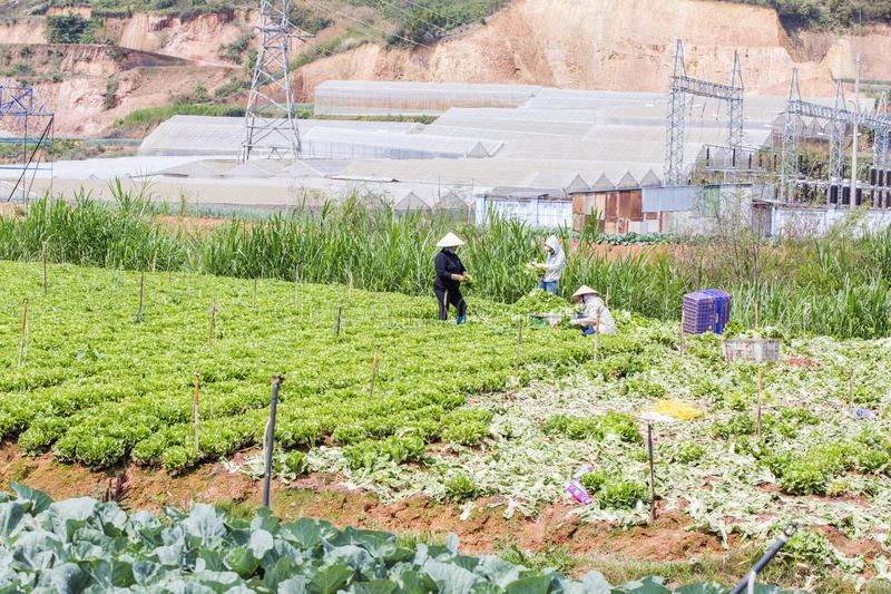 Farmers on field, Da Lat city, Lam province, Vietnam. Many people are working on vegetables field in the highland area , Da Lat, Lam province, Vietnam. Lam stock image
