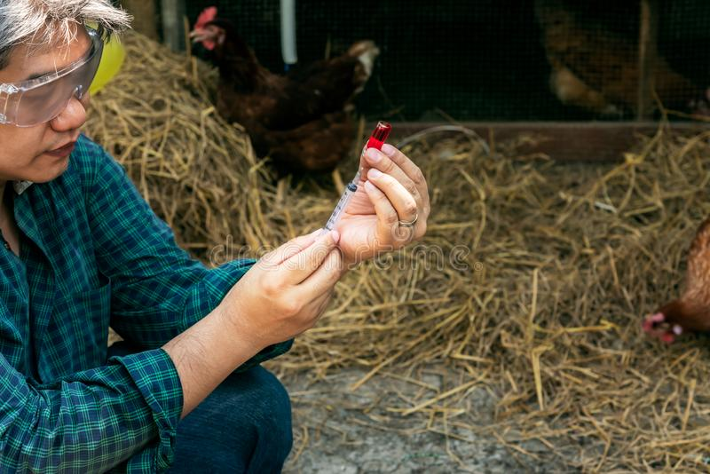 Farmers Going to vaccinate Prevent the epidemic, keep the chickens stock photo