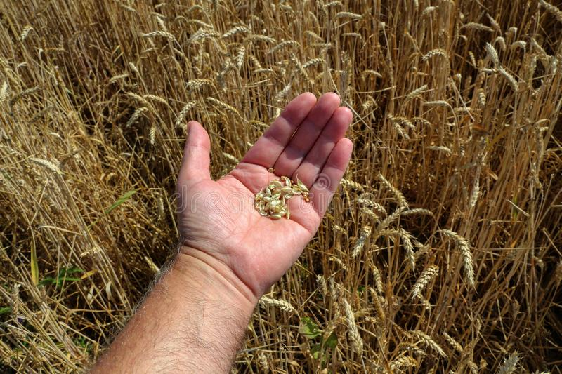 Farmers hand checking the maturity of grain stock image