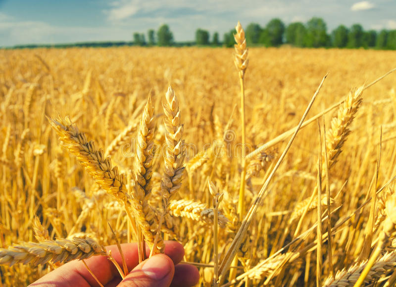 Farmers hand examining stems of ripe wheat seeds royalty free stock images