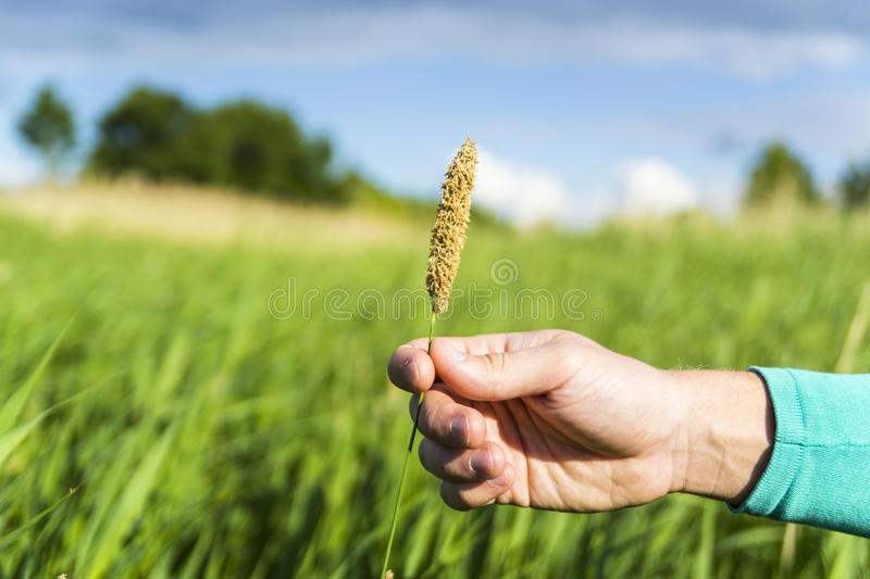 Farmers hand holding bloomy flowers spica. Male farmers hand holding bloomy flowers spica in a bright green field stock photos