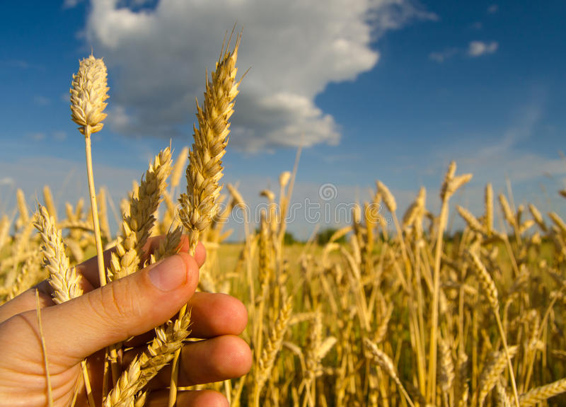 Farmers hand holding one stem of ripe wheat seeds royalty free stock image