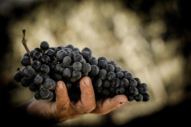 Farmers hands with freshly harvested black grapes. royalty free stock photo