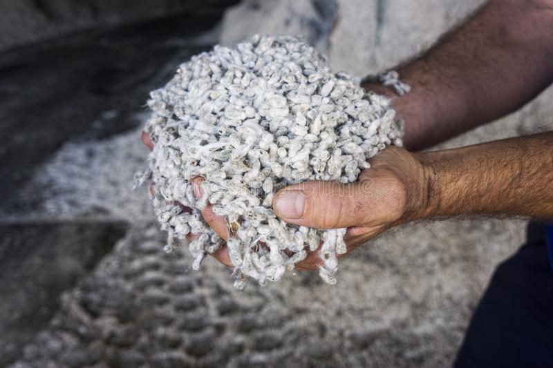 Farmers hands holding cotton seed royalty free stock photos